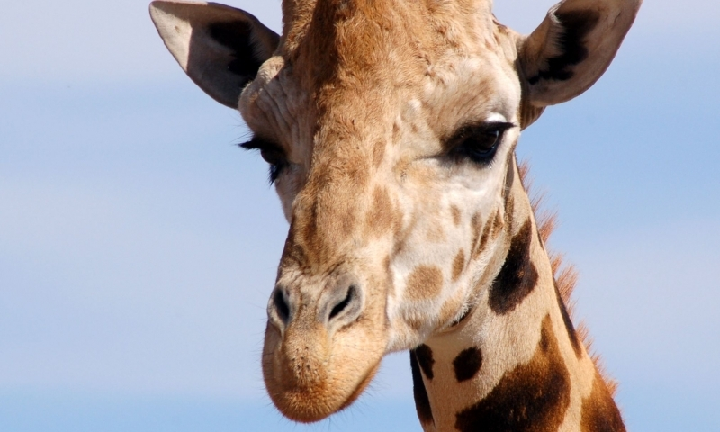 Giraffe at Out of Africa Park